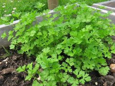 Flat leaf parsley in raised bed. Como Plantar Salsa, Dug Up, Parts Of A Flower, Replant, Raised Beds, Garden Projects, Parsley, Wild Flowers, Leaves
