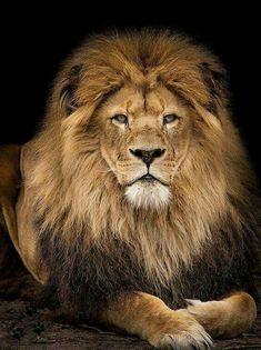 wow..... S T U N N I N G  LION <3<3<3<3<3<3<3  #BanTrophyHunting