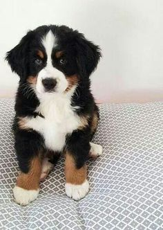 bernese mountain dogs are very friendly and perfect for families with small children.