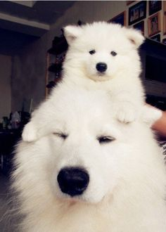 Looks that that Samoyed is carrying too many Annoying Dogs. Samoyed Dogs, Pet Dogs, Dog Cat, Doggies, Pomeranians, Baby Animals, Funny Animals, Cute Animals, Funny Cats