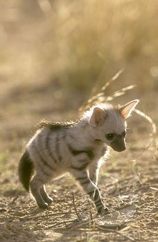 Adorable baby aardwolf. They are the only surviving species in their family, and are more closely related to hyenas.