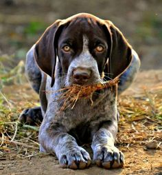 German Shorthaired Pointer with gorgeous golden eyes and a delicious mouth full of straw.