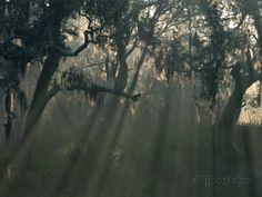 http://imgc.allpostersimages.com/images/P-473-488-90/27/2791/AVGOD00Z/posters/joanne-wells-morning-light-through-oaks-in-fog-savann…
