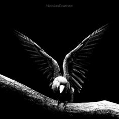Dark Zoo series by Nicolas Evariste Black And White Photography, Animal Kingdom, Bird Flying, Creatures, Dark, Wings, Black White, Inspiration, Animals