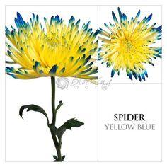 Image from http://www.bloomingmore.com/v/vspfiles/photos/yellow-blue-painted-mum-DIY-2.jpg.