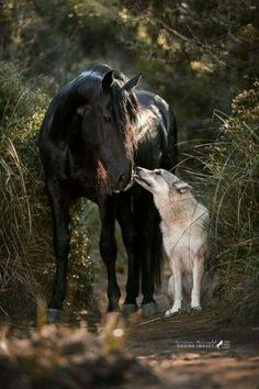 """""""Menorquin Hengst Zahir and the czechoslovak wolfhound louan by Spanish Horse Boutique. Horses And Dogs, Cute Horses, Pretty Horses, Horse Love, Happy Animals, Animals And Pets, Funny Animals, Cute Animals, Most Beautiful Horses"""