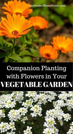 Learn companion planting tips with these 9 flowers that grow great in your vegetable garden. Grow healthier and more productive plants! Backyard Vegetable Gardens, Vegetable Garden Design, Garden Landscaping, Companion Gardening, Gardening Tips, Organic Gardening, Planting Vegetables, Growing Vegetables, Vegetables List