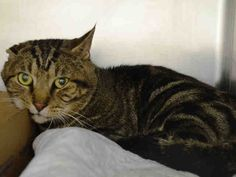 KILLED BY ACC - 07/08/15 - ARTEMIS - #A1042316 - - Manhattan *** TO BE DESTROYED 07/08/15 *** ANAIRIS, ARTEMIS, APEX and ARTIE came in with a group of 11 cats total….MALE GRAY TABBY AND WHITE DOMESTIC SH MIX, 2 Yrs - OWNER SUR ON 07/01/15 - PERS PROB