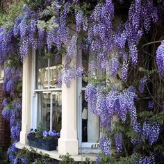 Lilac heaven. I've always loved flowers the surround a window. Feels very homey and inviting