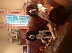 Lilly and Tessa, sweet English Springer Spaniels / Love the pose.. . . .guess who rules in this house! :)