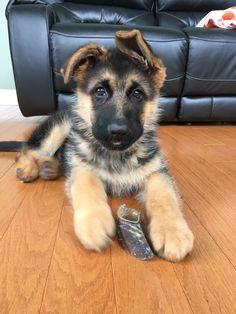 German shepherd puppy and his bone #DogNames #germanshepherd