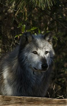 Wolf in the shadows by RamblingPhotog | Flickr