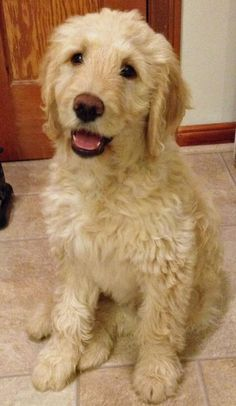 Camper the Goldendoodle -- Puppy Breed: Golden Retriever / Poodle
