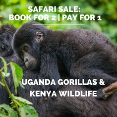 This is surely a top bucket list experience. Now you can get it - PLUS a visit to the wildlife mecca of Kenya - for HALF THE PRICE! Book for 2 - pay for *Travel in 2020 *New bookings only Camping Tours, Kenya Nairobi, Gorilla Trekking, Rift Valley, Mountain Gorilla, Price Book, Mecca, Africa Travel, Uganda