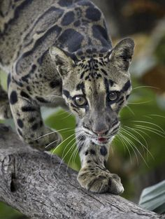 Indochinese leopard--Melanistic Indochinese leopard. | Tigers and ...