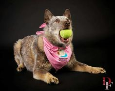 Angelyne the Amazing Deaf Cattle Dog
