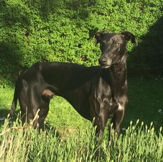 Carlos the Galgo, absolutely stunning ❤️