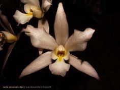 Laelia autumnalis semi alba (carmaniax) Tags: naturaleza flores alba michoacn laelia orqudeas uniflora barkeria silvestres tlalpujahua autumnalis bletia