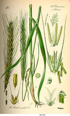 Zyto zwyczajne / Secale cereale / Farina di Segale / Rye / closely related to barley (Hordeum) and wheat (Triticum). Rye grain is used for flour, rye bread, crisp bread, pane segale , pane nero