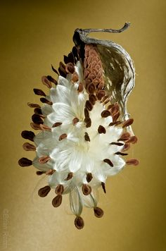 Milkweed Seed Pod by Jelly Brain - Brian Robin                                                                                                                                                                                 More