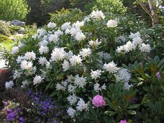 1000 images about 1032 main evergreen shrubs on pinterest. Black Bedroom Furniture Sets. Home Design Ideas