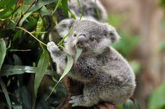 Conoce a uno de los animales que más feliz hace al mundo: El Koala.