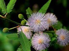 Mimosa pudica, la plante sensitive : conseils de culture et d'entretien, semis et bouturage de cette plante d'intérieur