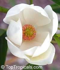Magnolia virginiana, Florida Bay Laurel, Sweet Bay  Click to see full-size image