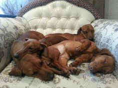 Dachshund heaven! would love to snuggle in the middle of this sleepy pile