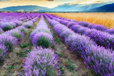 Hay and lavender