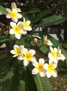French Japanese flower tree in Dar Es Salaam