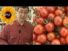 Как вырастить чудо-томаты и собрать хороший урожай томатов? Урожайные грядки. Дача ТВ - YouTube