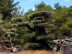 Here at Olive a Dream Trees we take ancient #olive trees and turn them into living sculptures. A Sculpted olive tree looks like a giant #bonsai or #Macro bonsai. They are also called #Arbor sculptures. Japanese garden. These magnificent trees all come from #California. Check out our web site at oliveadreamtrees.com.