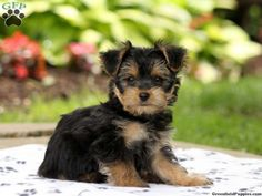Morkie / Yorktese Puppies For Sale In PA