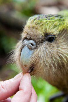Siracco the ambassador for the Kakapo in NZ © Jo Moore New Zealand Tours, New Zealand Art, Kakapo Parrot, New Zealand Mountains, Animals And Pets, Cute Animals, Budgies, Parrots, Rare Birds