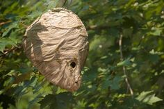 The trick to getting rid of carpenter bee and hornet nests? Spray insecticide under the cover of darkness. If you have honeybees, look for a local beekeeper who might come and take the nest so they can live to pollinate another day. | Photo: Michael Westhoff/Getty | thisoldhouse.com