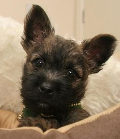 Cairn Terrier puppies - all ears, eyes, and feet! Cairn Terrier Puppies, Havanese Dogs, Yorkshire Terrier Dog, Yorkie Puppy, Pet Dogs, Dog Cat, Pets, Doggies, Chihuahua Dogs