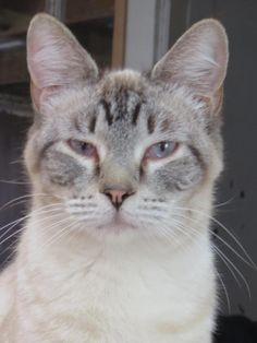 Meet Cuddles, a Petfinder adoptable Siamese Cat | Wichita, KS | Not much is known about Cuddles and his clan.  He came here with his daughter (Bitty Kitty) and his...