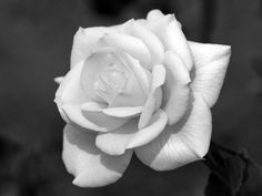 Black and White Rose Photography | Single white rose for Mum