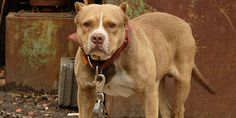 PLEASE SIGN & SHARE~ Unchain Pennsylvania's Dogs!~ I cannot tell you how saddened I am every time I see this. These dogs look so sad to me; we know dogs THRIVE on interacting with other dogs and humans, & LOVE affection & attention. To see them denied such a simple pleasure in life is heartbreaking. Man's Best Friend deserves better! Thank you so much for your help!