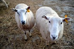 Sheep at Wolfe's Neck Farm in Freeport, Maine