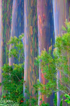 Rainbow Row | ©Kory Lidstrom A colorful row of Rainbow Eucalyptus trees (Eucalyptus deglupta) on the Big Island of Hawaii.