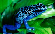 Blue Frog (id: 91395)   WallPho.