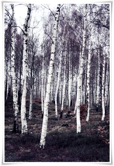 achingly beautiful stand of birch trees // via helt enkelt [a stunning blog...you should check it out.]