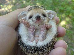 Widdle baby hedgehog. Muffin!