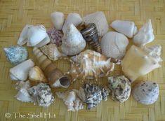 Seashell Craft Lot Assorted Mixed Shells Fish Tank Aquarium Beach Large Lot#2
