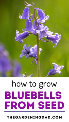 Learning How to Grow Bluebells from Seed is so easy and rewarding! Learn growing, caring, harvesting, and storing tips and ideas! And you'll even save money! #bluebells #flowers #flowergarden Flower Gardening, Gardening Tips, Planting Flowers, Vegetable Garden For Beginners, Outdoor Pots, Edible Plants, Seed Starting, Cut Flowers, Amazing Flowers