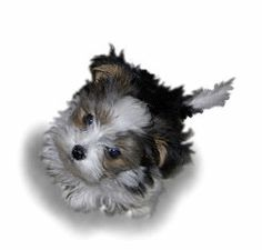 Angel Doll Tiny Toy Designer Hybrid Puppies For Sale (About Us). #dog #animals #puppies