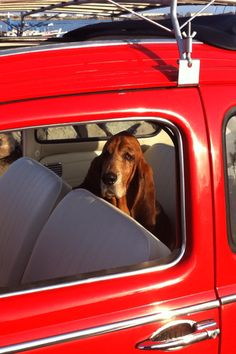 Basset in a Beetle