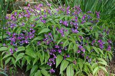 Lathyrus vernus   Dunn Gardens
